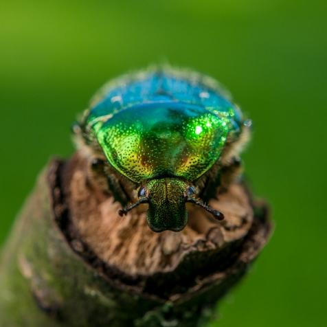 June Beetle