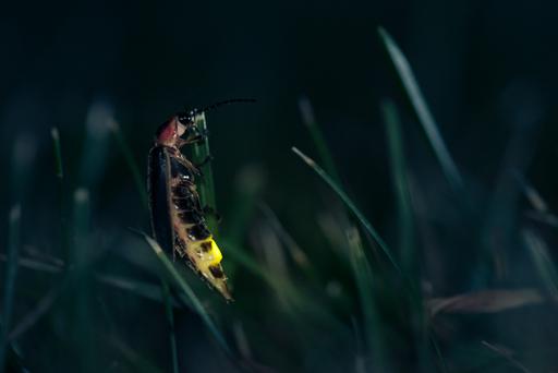 Fireflies of LakeMichigan