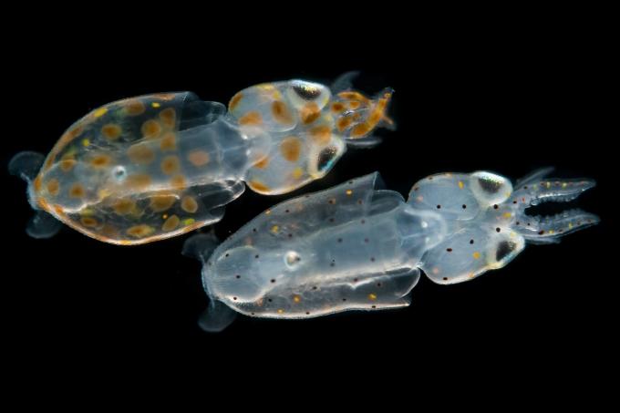 Chromatophores: The mercurial colors ofsquid